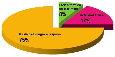 Componentes del gasto energético en una persona sedentaria