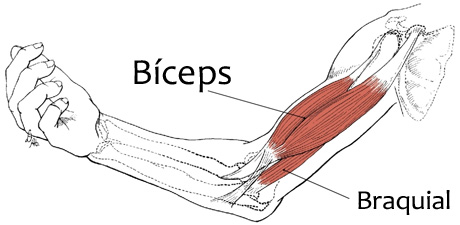 biceps y braquial